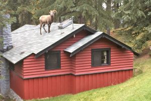 Goat on roof of cabin